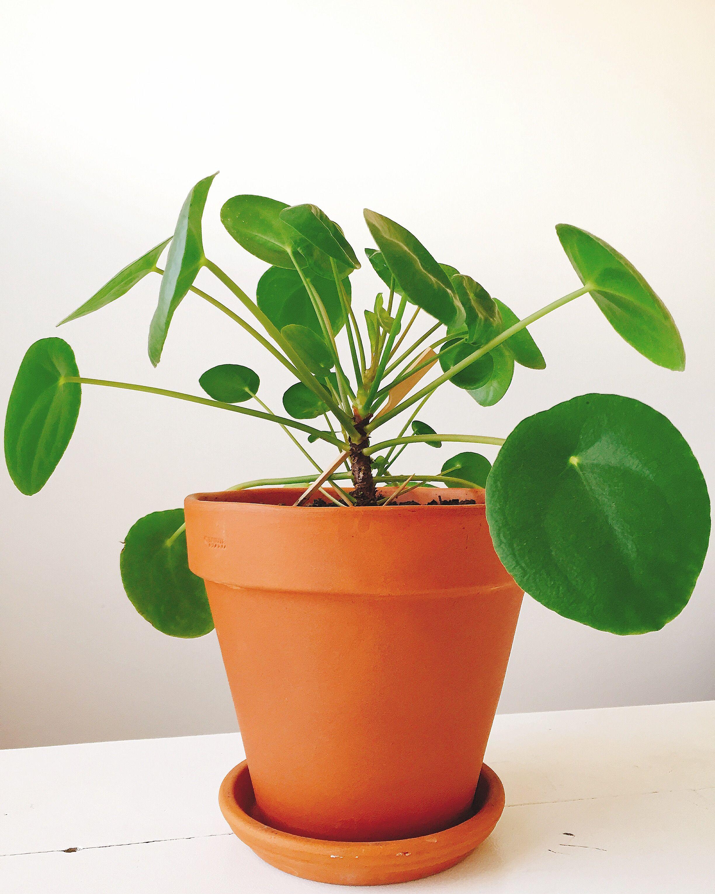 pilea peperomioides pannenkoeken plant chineese money plant ik ben zo verliefd op dit. Black Bedroom Furniture Sets. Home Design Ideas