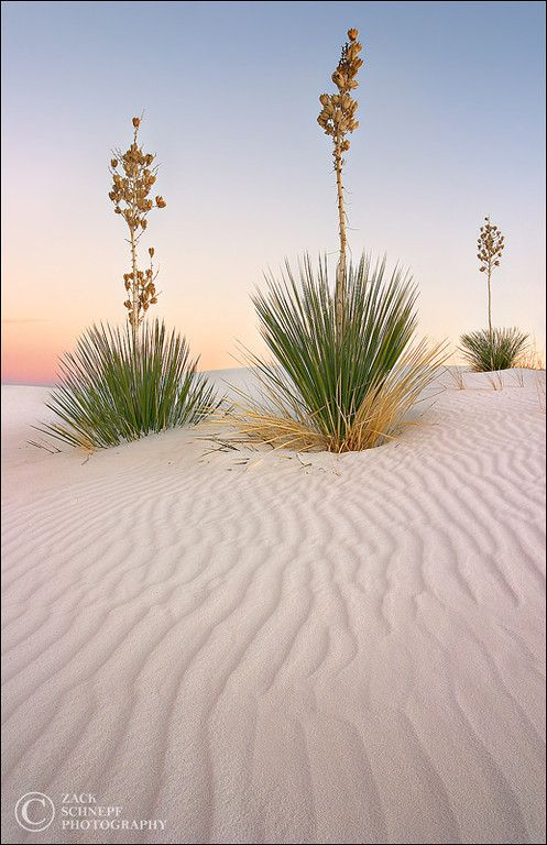 White Sand Sentinels White Sands, New Mexico by Zack Schnepf Photography White Sands National Monument