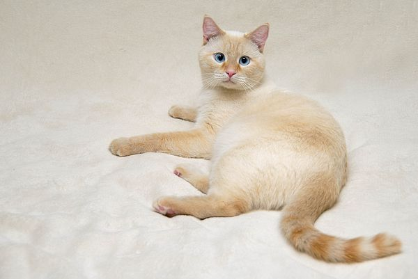Flame Point Siamese Cat By Amy Cicconi Cat Breeds Siamese Cats