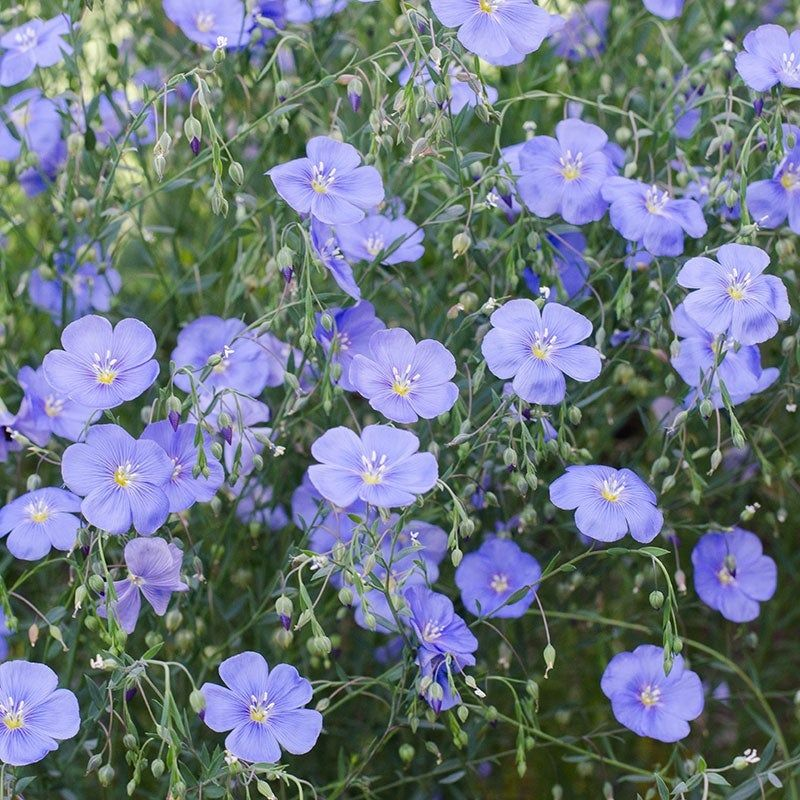 Blue flax seeds flax flowers wildflower seeds flower