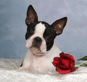 Circle J's Boston Terriers Breeder Puppy For Sale Breeding ...