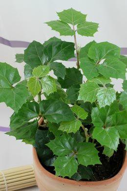 Cissus Rhombifolia Pflanzen Pflanzen Dekor Zimmerpflanzen