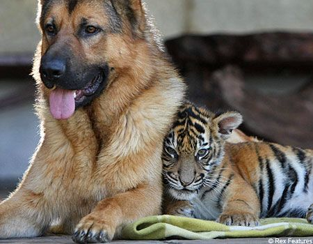 Cute Picture Alert The Tiger That Thinks It S A Dog Cute