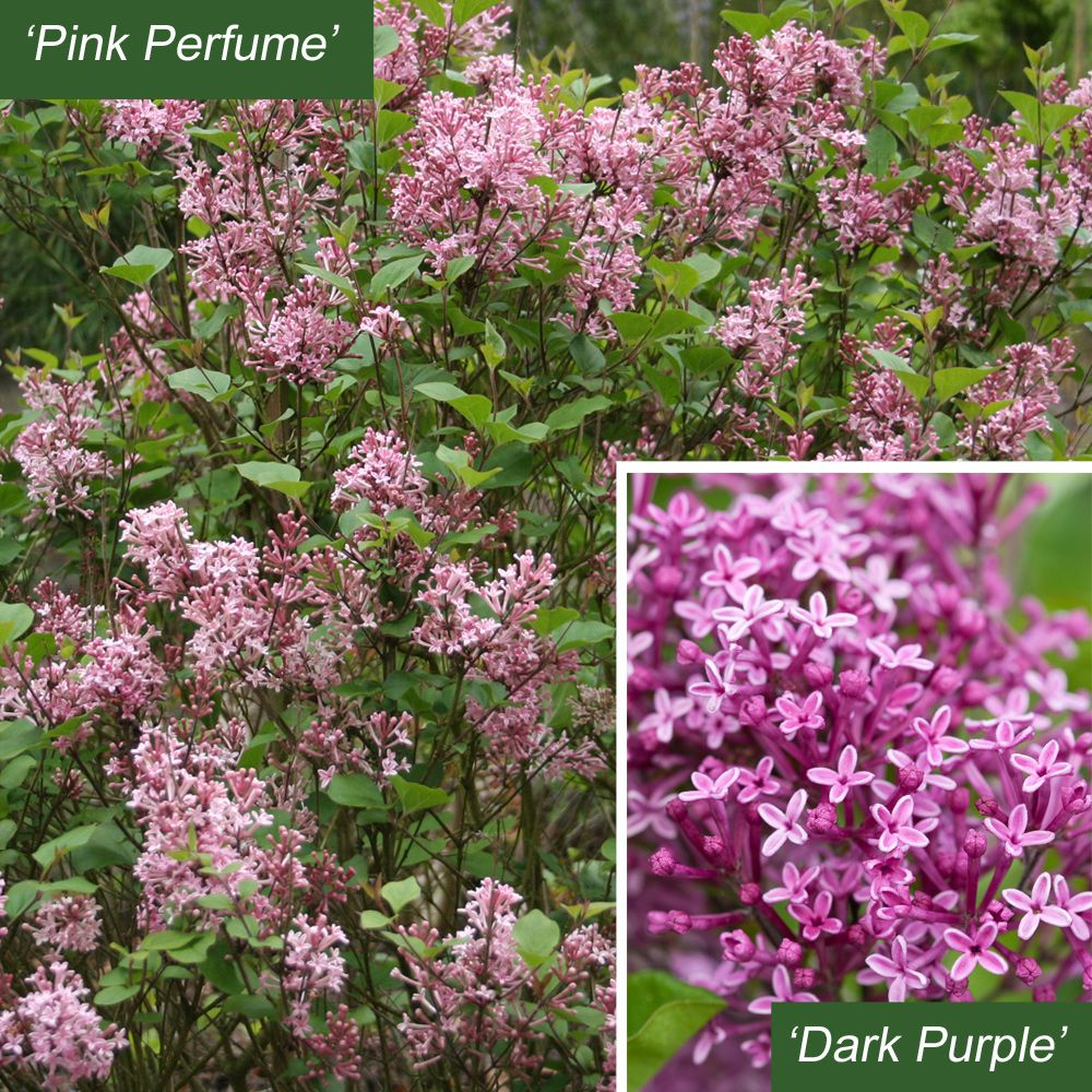 Lilac bloomerang pink perfume or dark purple most lilac lilac bloomerang pink perfume or dark purple most lilac bushes bloom for just a few weeks in spring but lilac bloomerang flowers from spring to dhlflorist Choice Image
