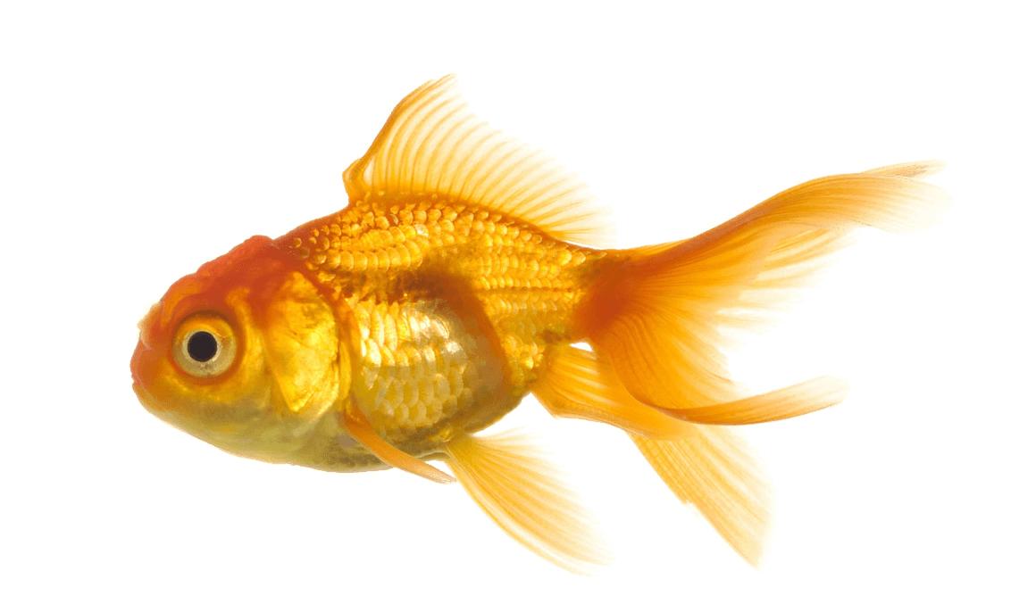 Gold Fish Png Image Goldfish Fish Tropical Fish Aquarium