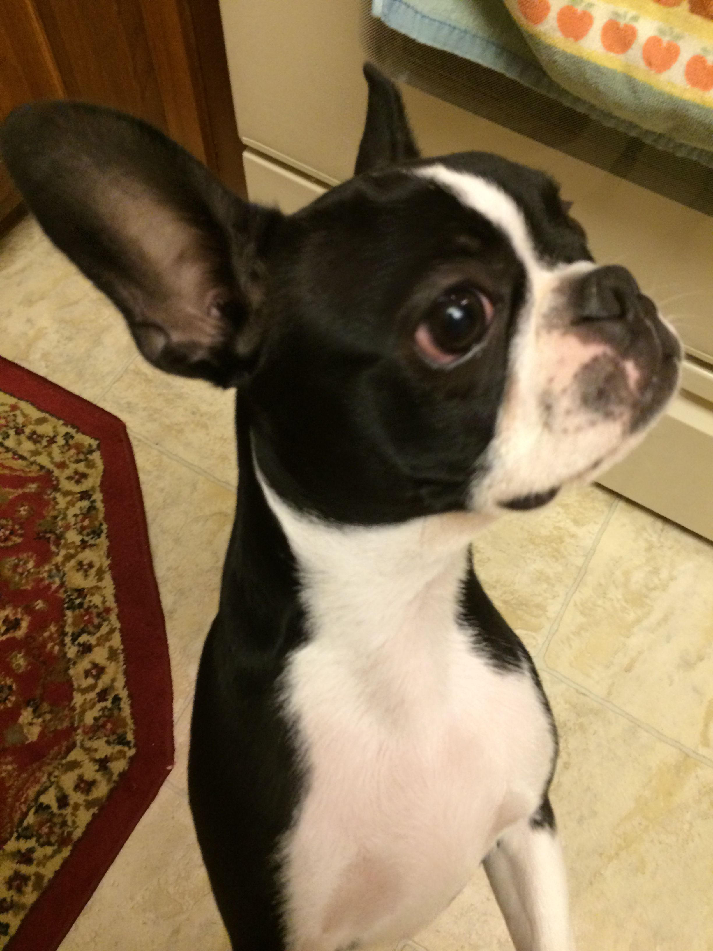 How much do i feed my 6 week old boston terrier