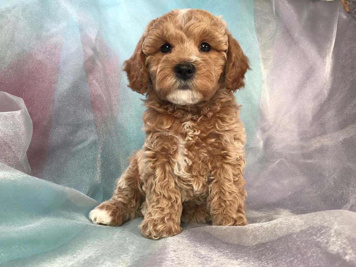 Pin By Grayson Mcdade On Dogs In 2020 Cockapoo Puppies For Sale