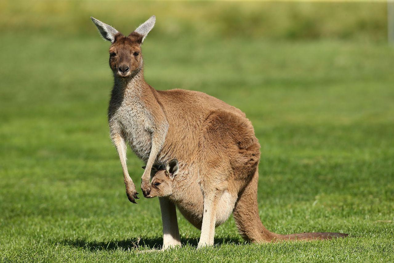 Секс с кенгуру онлайн, Кенгуру секс. Смотреть на сайте online 16 фотография