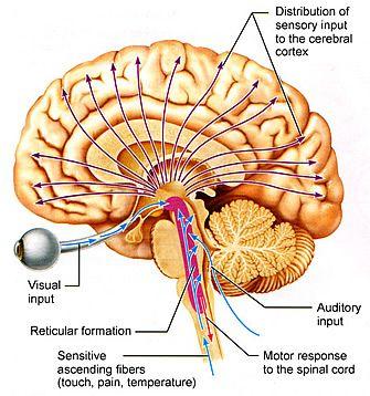 The reticular formation   Central nervous system, Nervous ...