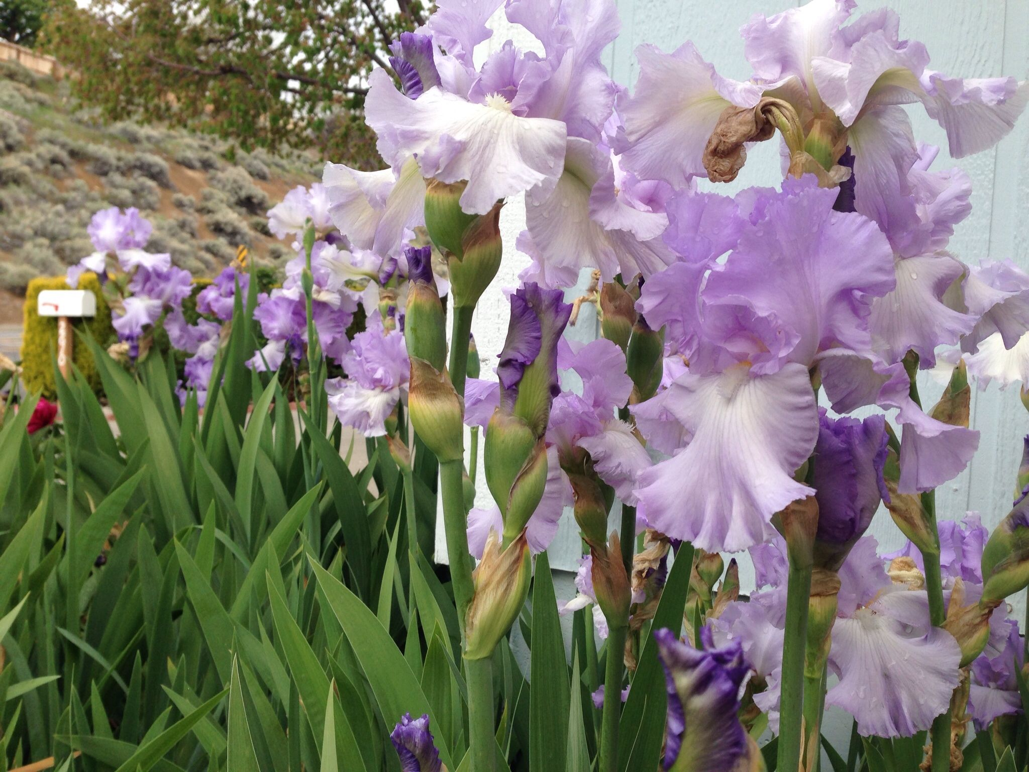 Irises are the most beautiful flower here are a few more to follow irises are the most beautiful flower here are a few more to follow izmirmasajfo
