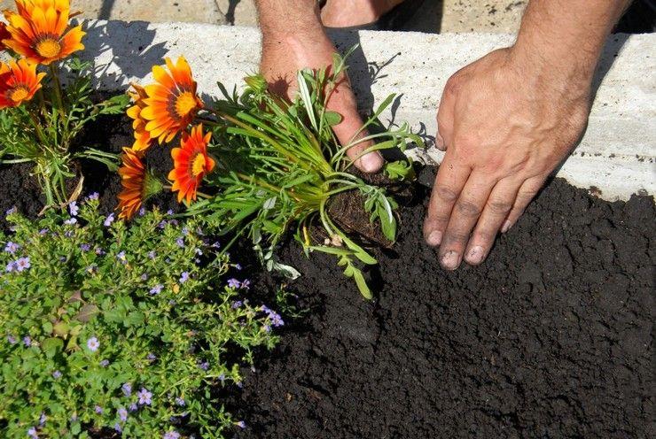 Цветок гацания – посадка и уход в открытом грунте ...