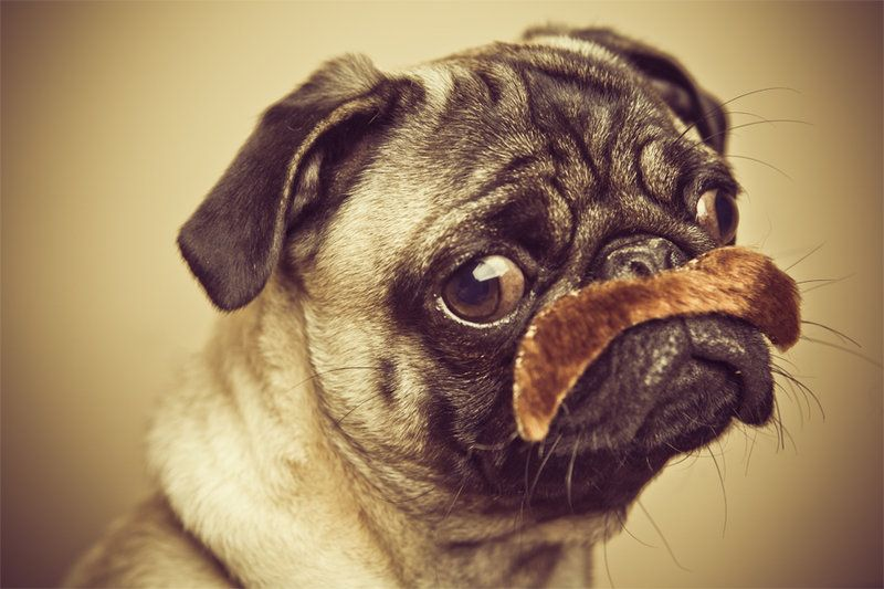 An Aristocratic Pug by lepersabstain.deviantart.com ...