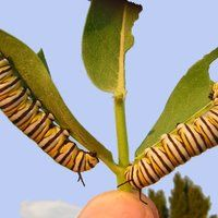Click here for a video presentation on how to find monarch eggs and caterpillars in the right habitat in Northern Utah and the Intermountain West.