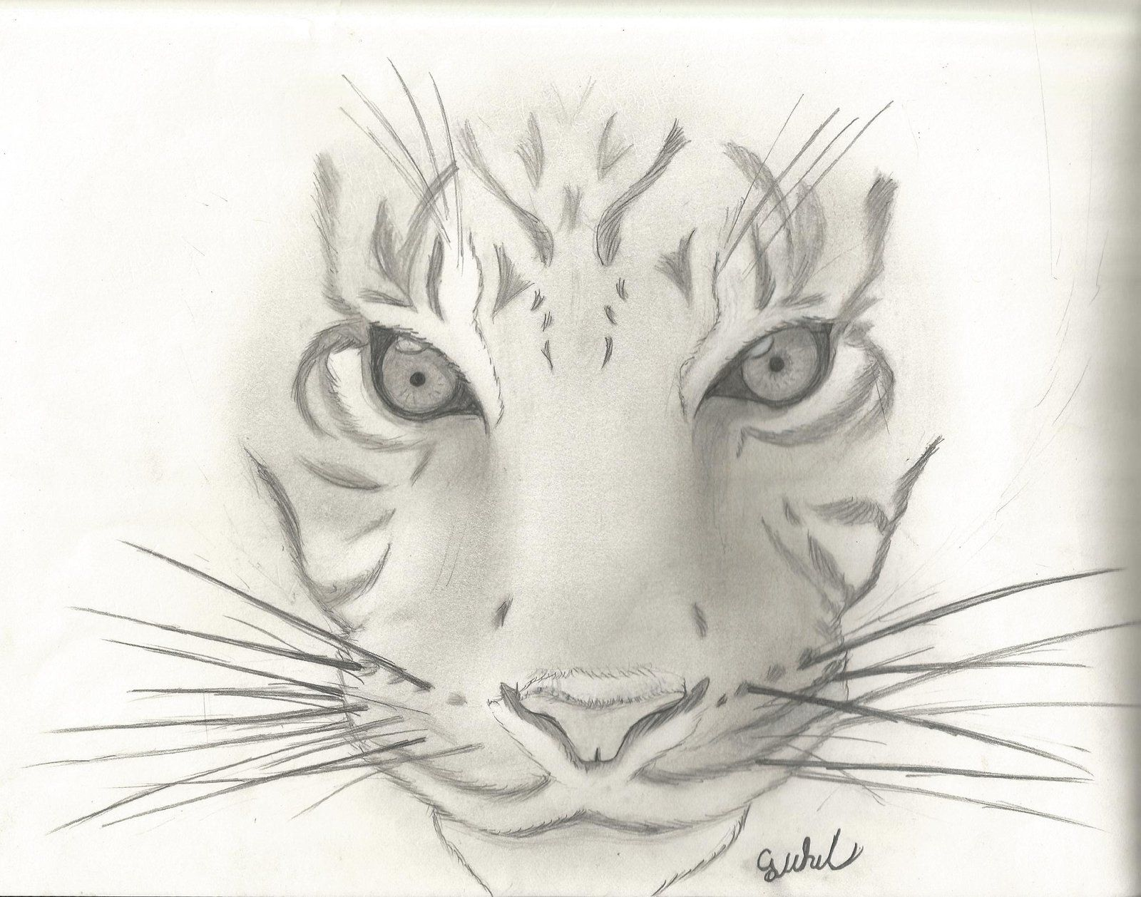 Animal sketch 1 tiger by cjwhit on deviantart for Easy and amazing drawings