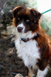 Adopt Bronson On 3 Australian Shepherd Dogs Dogs Australian Shepherd