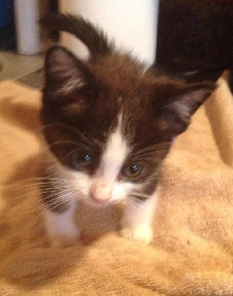 Meet Clyde, a Petfinder adoptable Domestic Short Hair Cat