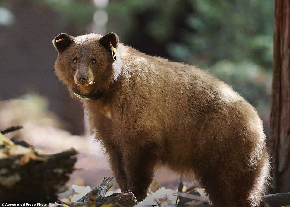 Map Lets You Track Animals Around Yosemite National Park Daily Mail Online Yosemite Bears Bear California National Parks