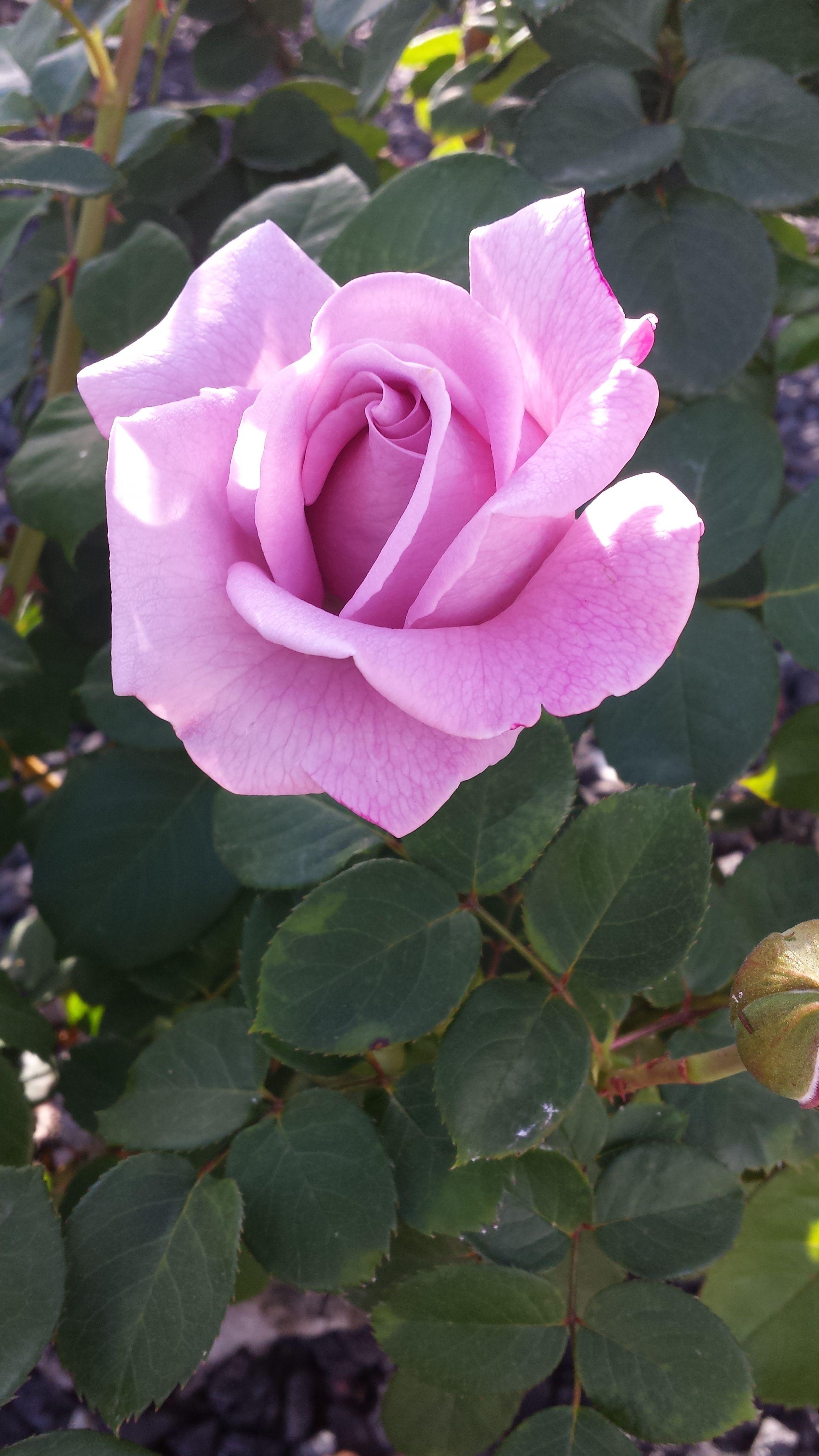 Rose 3   Beautiful flowers, Rose reference, Beautiful roses