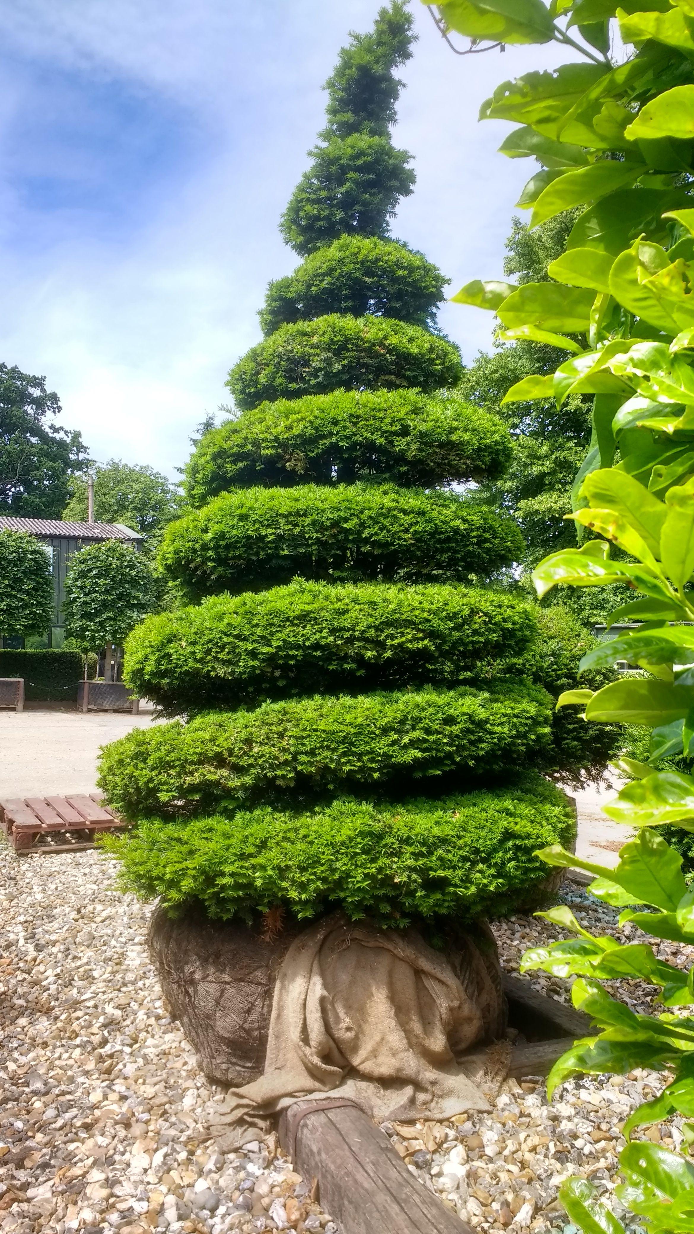 Taxus Baccata, Yew Tree Half Standard Topiary Buy Online Uk