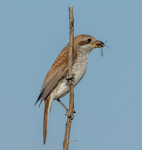 DSC8841  Red Backed Shrike..