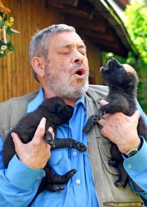 14 Tage Alte Kanadische Wolfswelpen Heulen Mit Werner Freund Mit