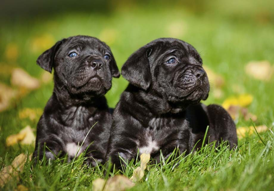 Find Cane Corso Puppies Near Savannah Ga And Helpful Tips And