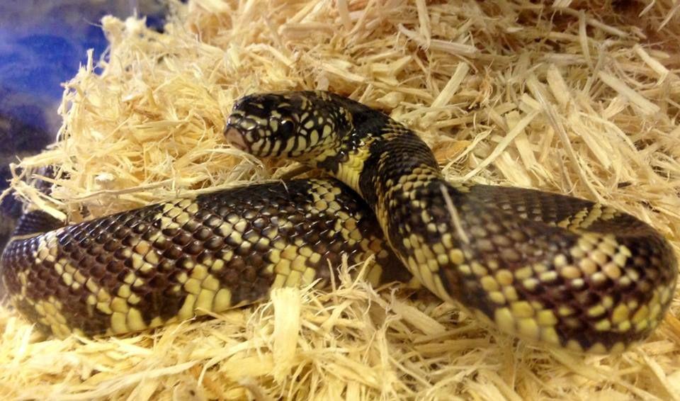 Florida King Snake Florida king snake, Beautiful snakes