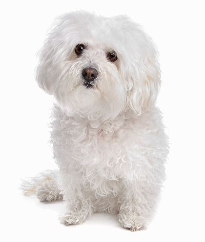 Find Your Perfect Match Here 39 S A Full Guide On The Personality And Traits Of All The Non Shedding Hypoallergenic Br Tiny Dogs Small Dog Breeds Dog Breeds