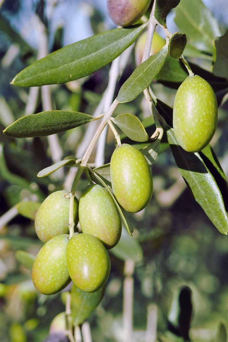 Learn How to Grow Olive Trees in the Home Landscape (With