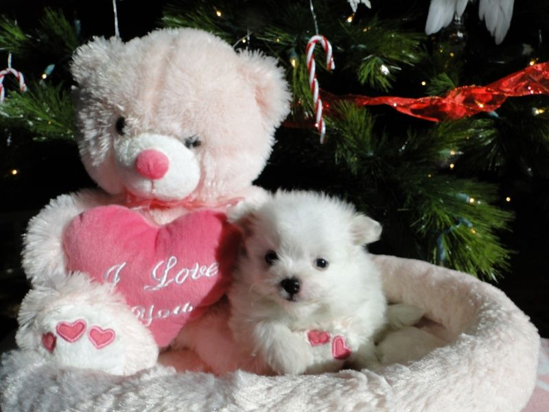 Toy maltipoo puppies for sale in michigan