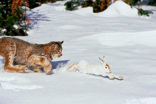 фото рыси на охоте замечательное