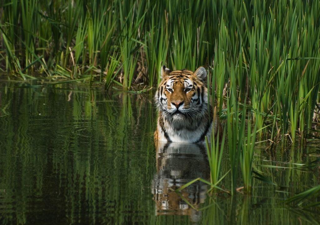 A Tiger In My Neighborhood Animals beautiful, Tiger