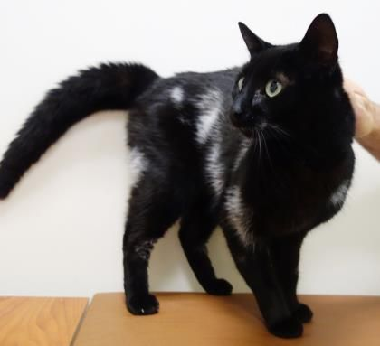 Clooney is an adoptable domestic short hair searching for