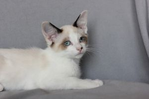 Adopt Beckett On Petfinder Snowshoe Cat Cats Siamese Cats