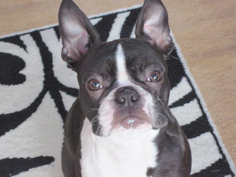 Dexter The Boston Terrier Dog From Dorset Uk Boston Terrier Dog Boston Terrier Dogs
