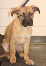 Adopt Zeus 2 On Great Dane Mix German Shepherd Dogs Dogs