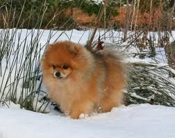 Red Sable Pomeranian Google Search Dogs And Puppies