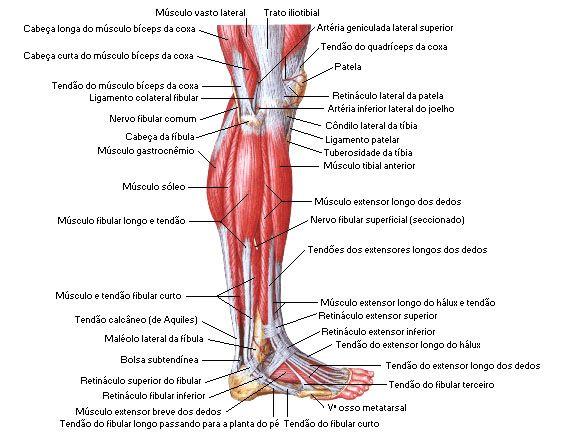 Os músculos perna da quais são