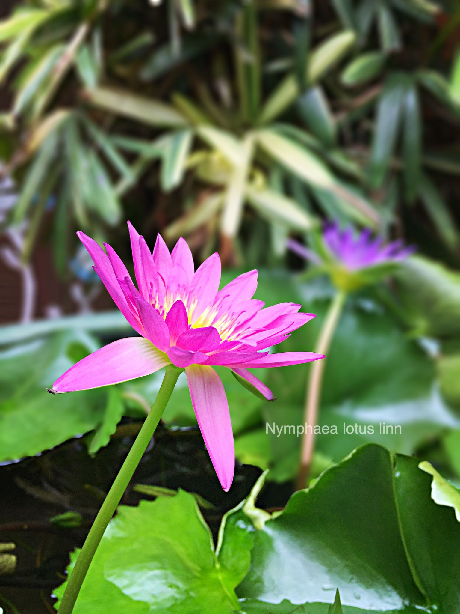 Midnight American Lotus My Sweet Home Pinterest Lotus