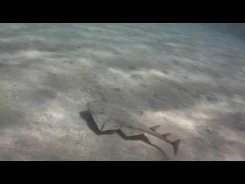 Cria di squalo angelo, filmata nell'isola di Lanzarote nella estate del'anno 2013.