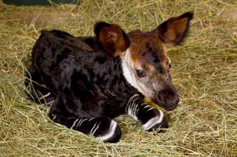 Baby Okapi awwwwwww!!!