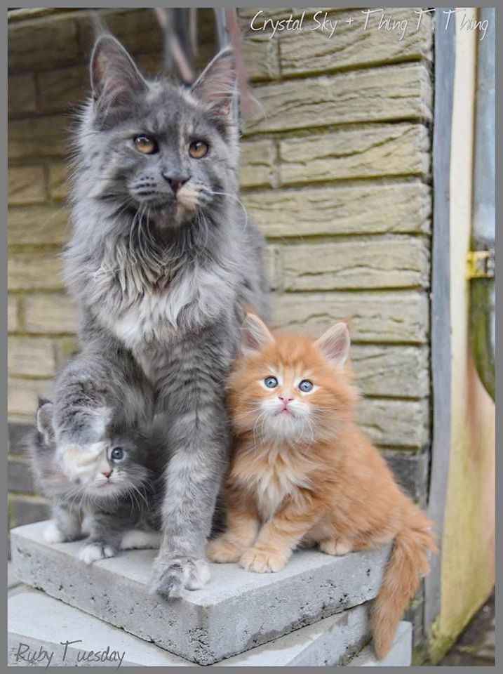 Pin By Stand Up America On Wants Cute Cat Gif Kittens Cutest Cute Funny Animals