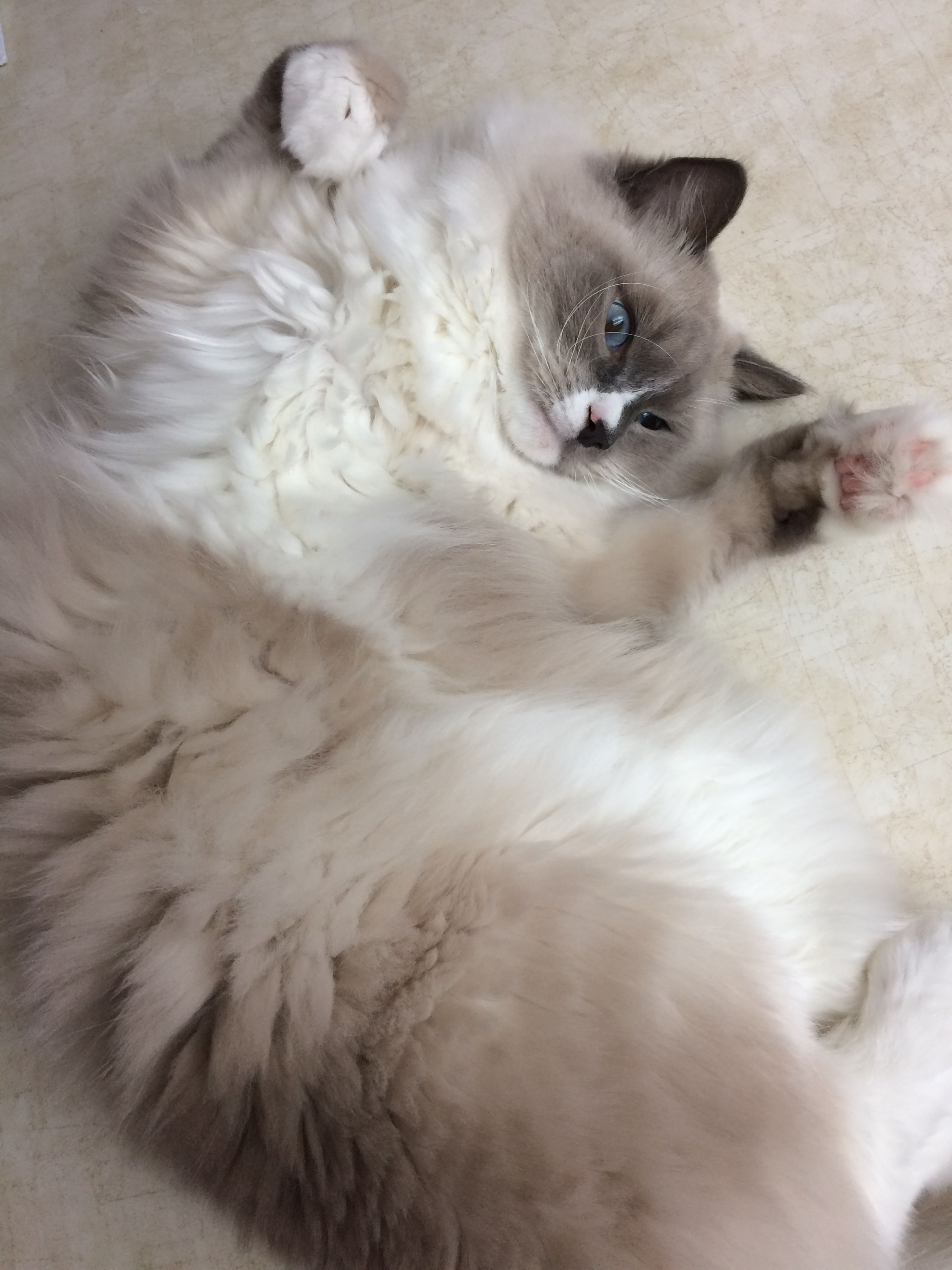 Pin by Sharon Crowder on Cute kittens & Cats Ragdoll