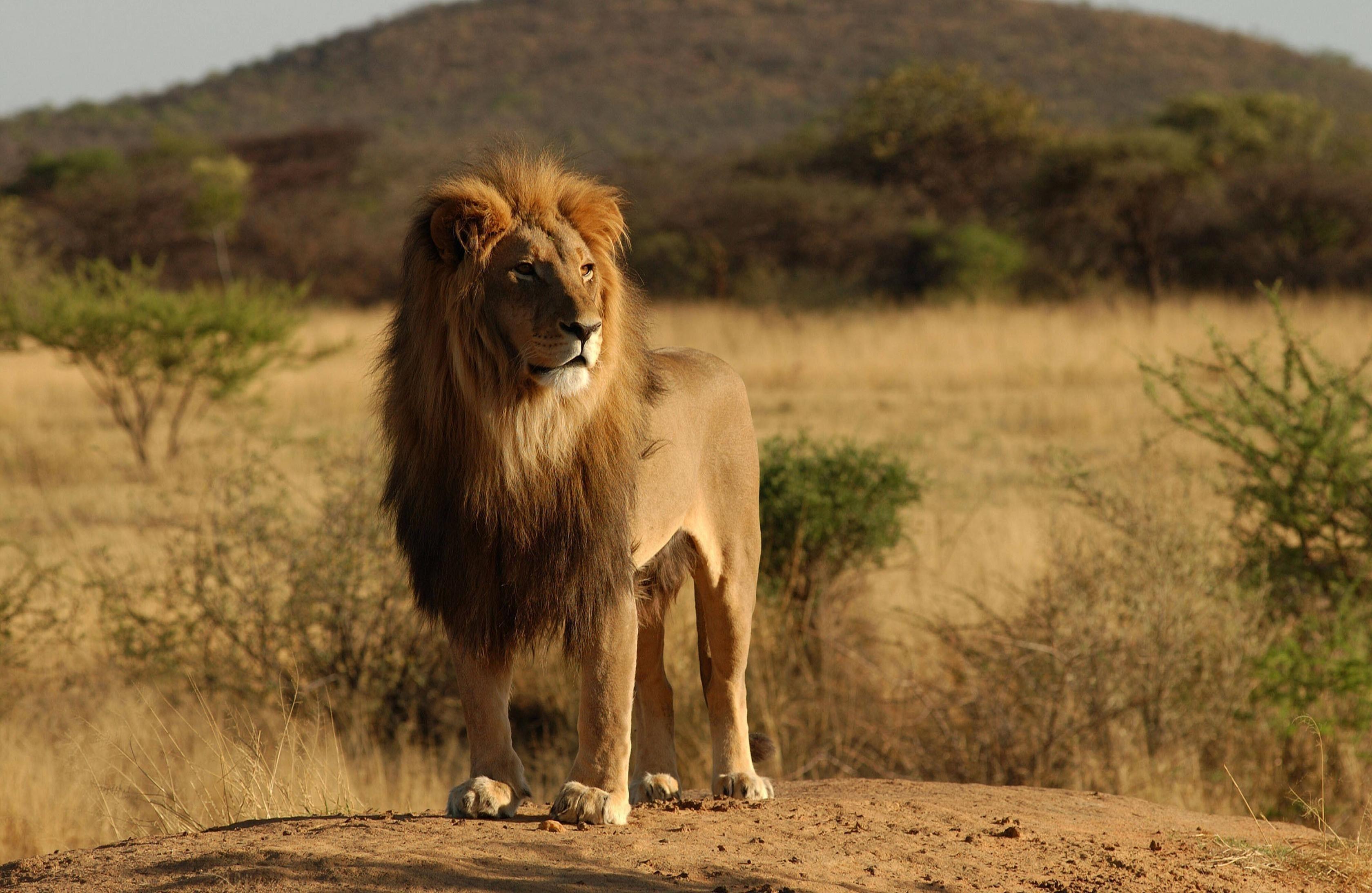Lion Background Hd Lion Category Wallpaperscreator Pinterest