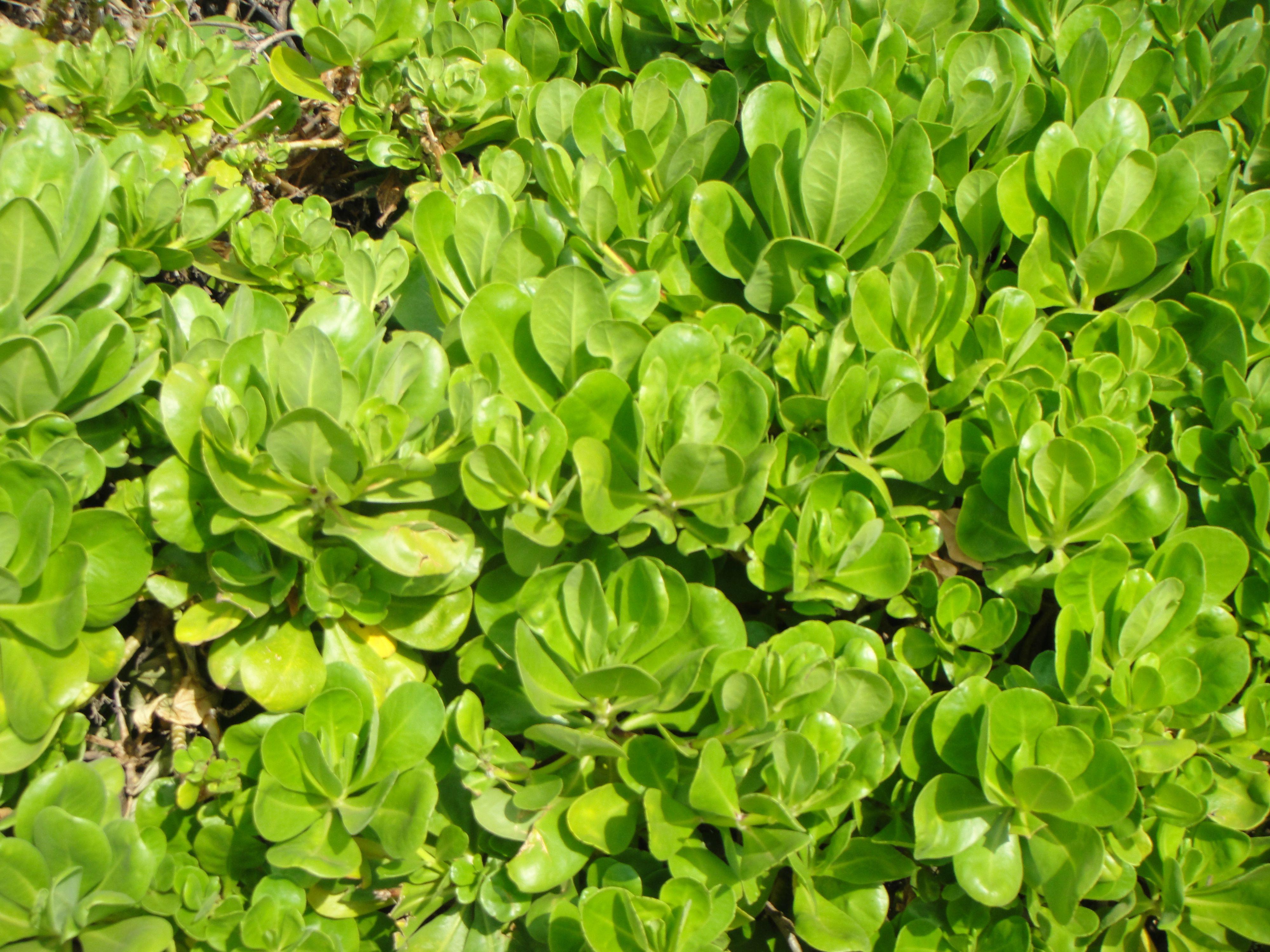 Hawaii Plants Plants, Herbs, Hawaii