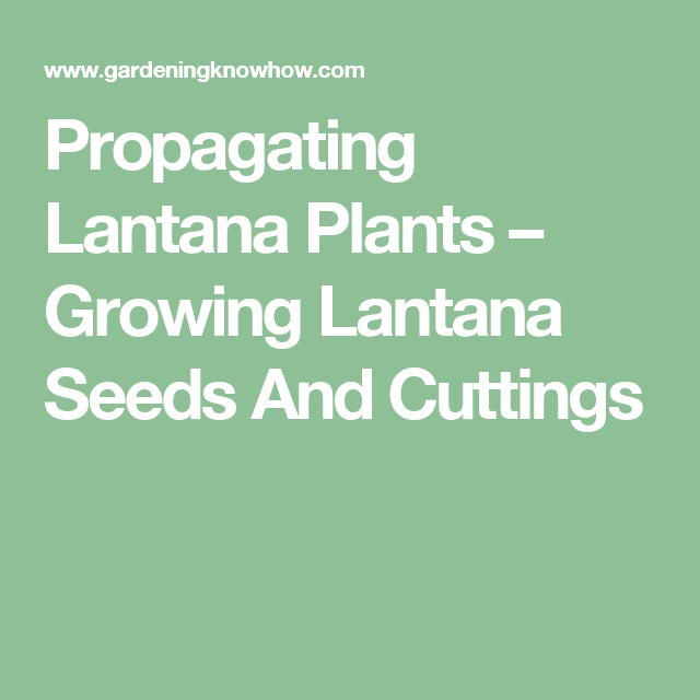 How To Propagate Lantana Learn How To Grow Lantana From Cuttings