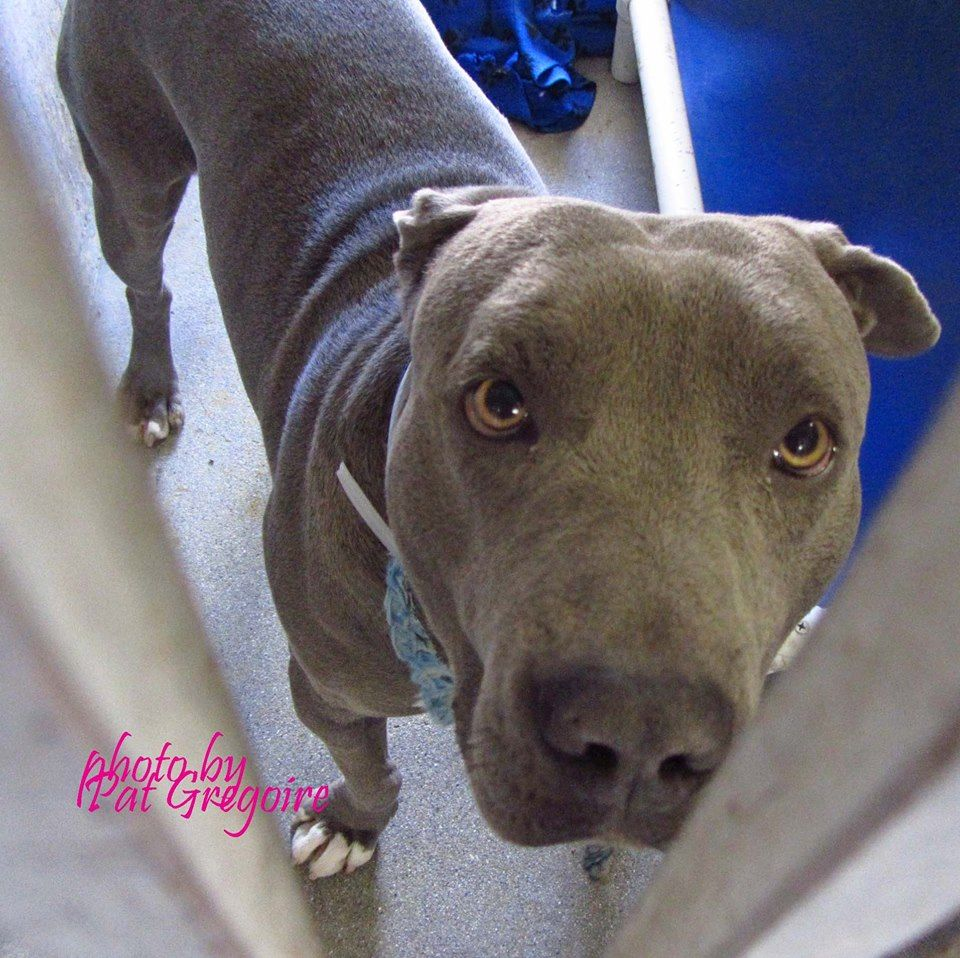GONE --- A4783053 I am a very friendly 2 yr old male blue/white pit bull mix. I came to the shelter on Dec 9 because my owner was arrested. Available 12/24/14 Baldwin Park shelter https://www.facebook.com/photo.php?fbid=888150621196776&set=a.705235432821630&type=3&theater