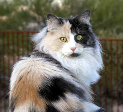 Gorgeous Black Smoke Tortie And White Norwegian Forest Cat