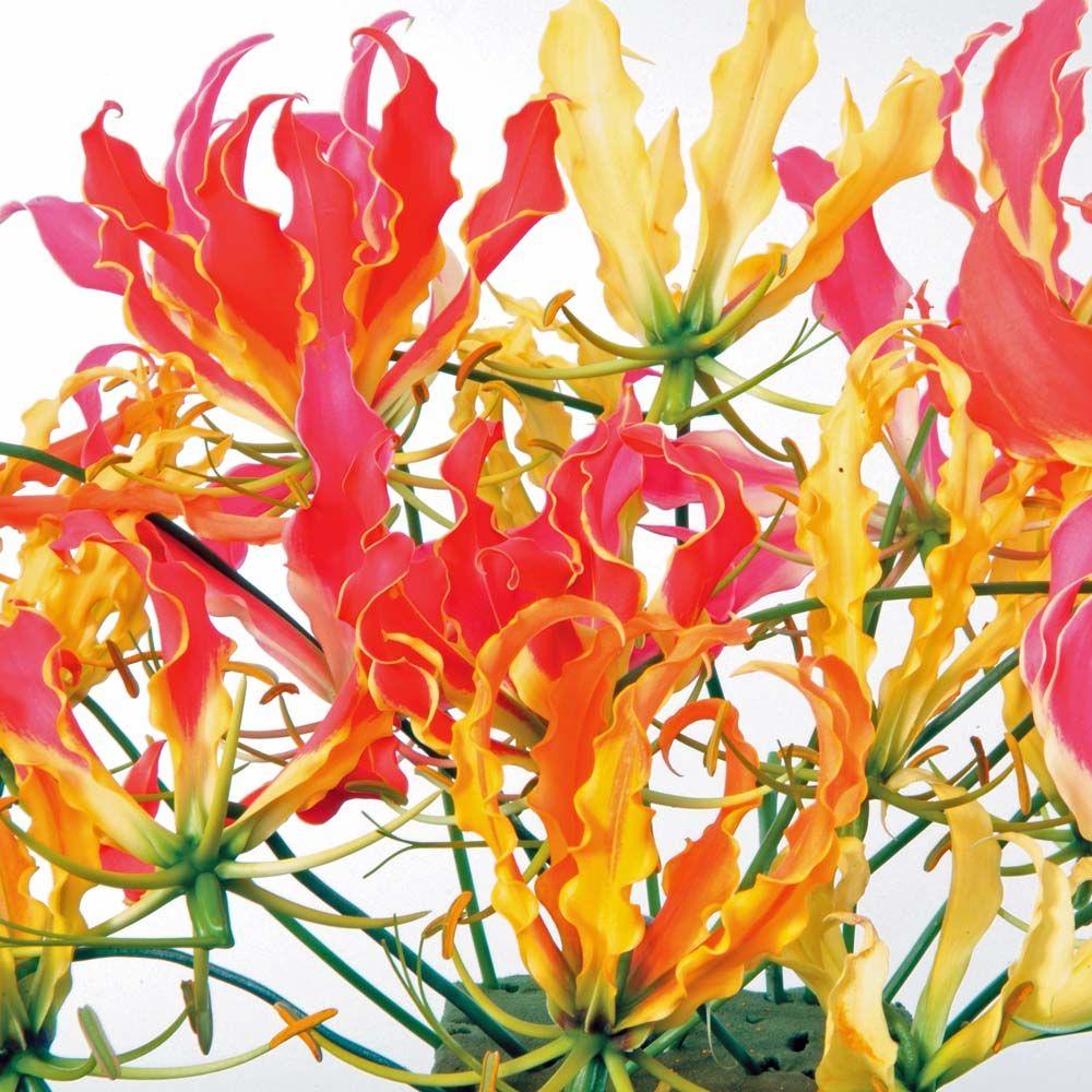 Glory Lily Mixed (Gloriosa Superba Mixed) Lily flower