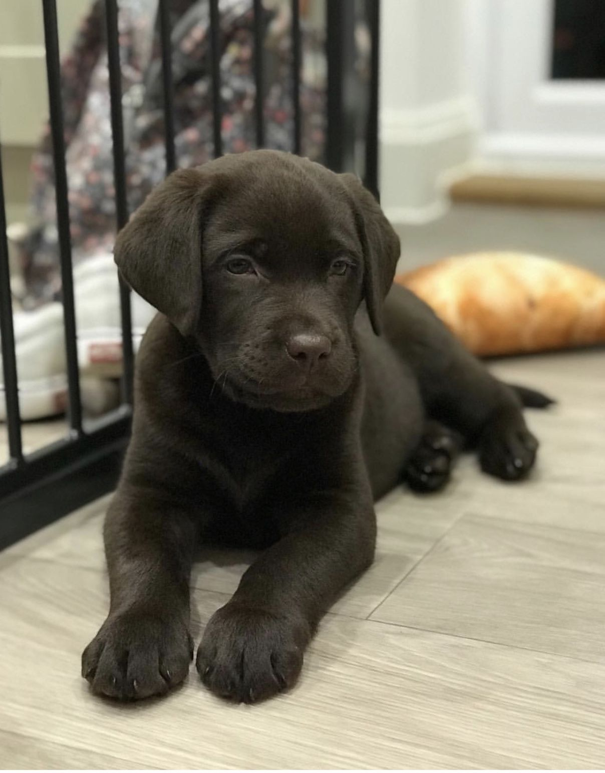 A 8 Week Old Chocolate Labrador Called Sully From Norfolk Follow Him On Instagram For Regular Pupdates Labrador Puppy Labrador Puppy Training Smart Dog